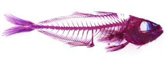 透明骨格標本サンプル写真